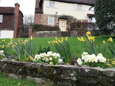 -daffodils_and_white_flowers_with_houses_in_the_background