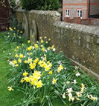-daffodils_by_a_wall_in_the_cemetery