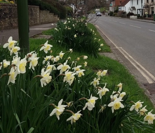 -whiteish_daffodils_by_a_road_and_pavement