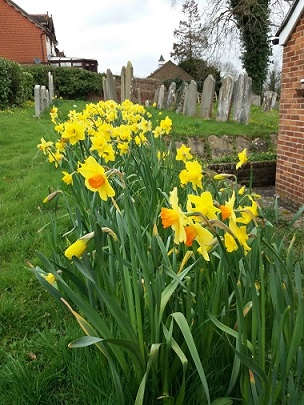 -yellow_daffodils_in_the_cemetery_with_headstones_in_the_background